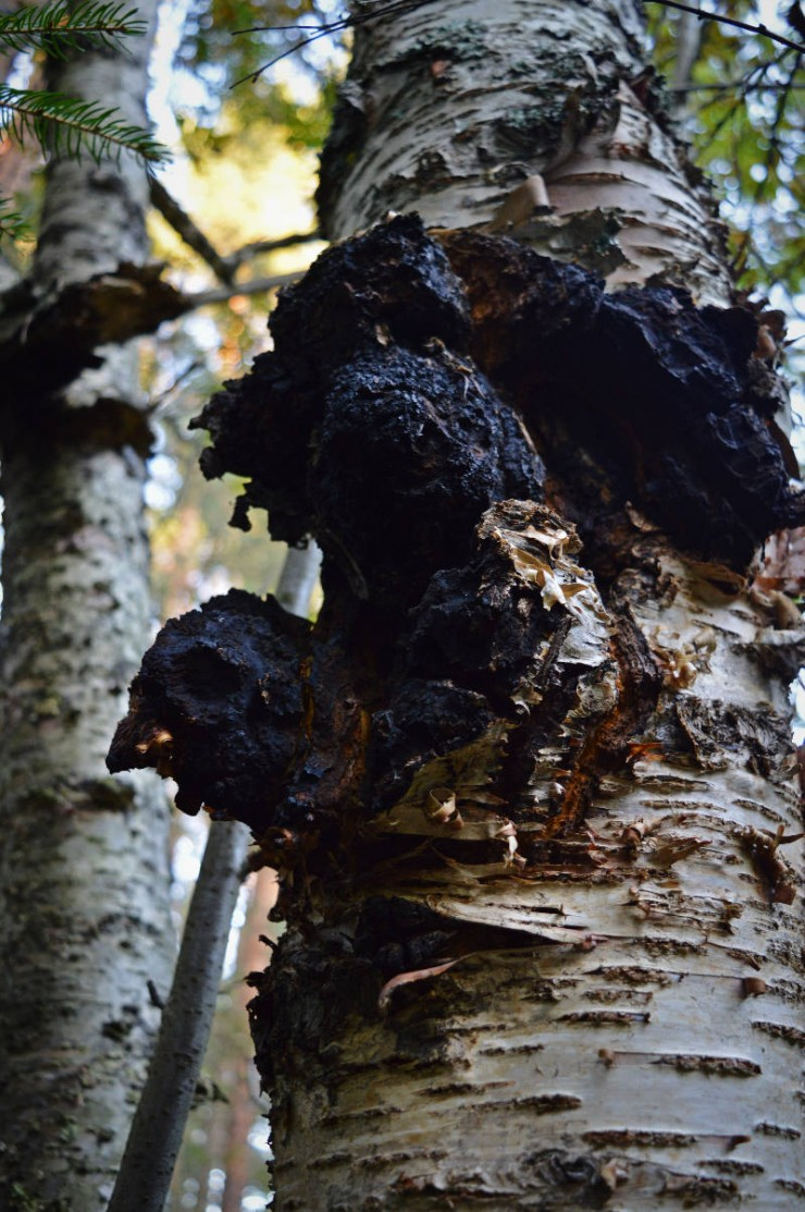 Chaga mushroom: wha is it, properties and how to collect it @ www.adagioblog.com