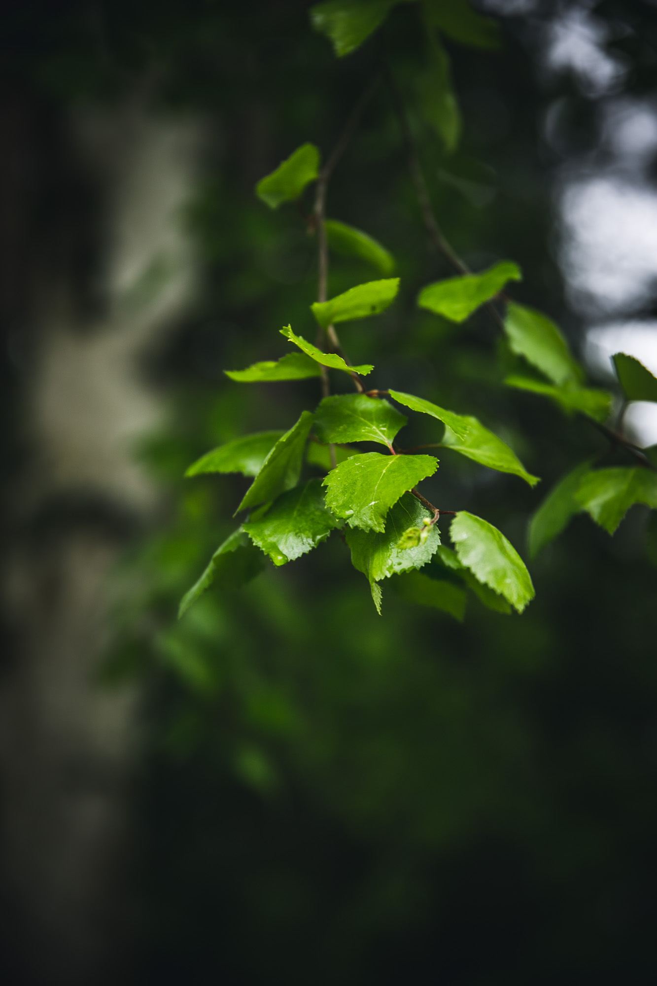 Nordic Foraging: Birch Leaves | The Adagio Blog