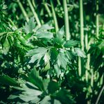 Nordic Foraging: Lovage - The Adagio Blog by Thais FK